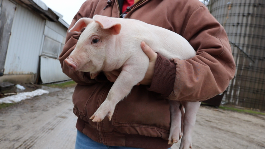 Maggie Goad carries a piglet on her family farm in Hampshire, Illinois.